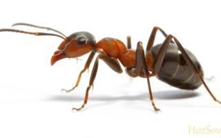 Чем вывести рыжих муравьев