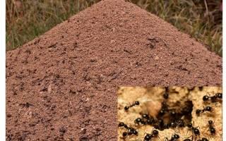 Из чего муравьи строят муравейник
