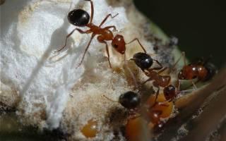 Чем питаются матки муравьев