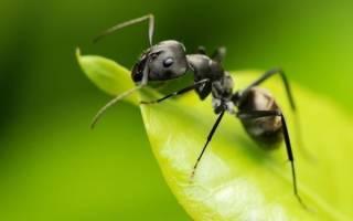 Как вывести из теплицы муравьев