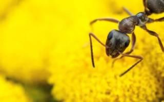 К чему летом много муравьев