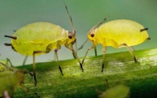 Как муравьи разводят тлю