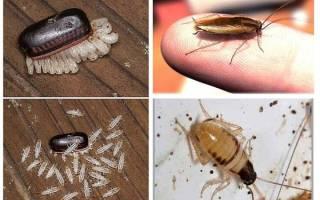 Лезут тараканы от соседей что делать