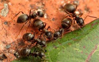 Чем полезен муравей