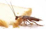 Как бороться с рыжими тараканами