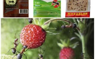 Чем обработать клубнику от муравьев