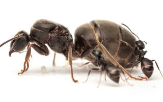 Как появляется матка у муравьев