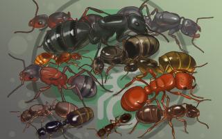 Как отличить самку муравья от самца