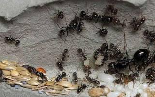Как избавиться от самок муравьев в доме