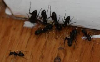 Как избавиться от муравьев в бревнах бани
