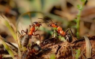 Как бороться с черными муравьями в огороде