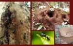 Чем травить муравьев на участке