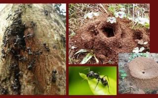 Чем обработать от муравьев