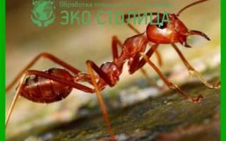 Чем отличаются красные муравьи от черных