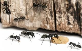 Как избавиться от муравьев во дворе