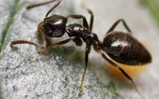 Как вызвать сэс для уничтожения муравьев