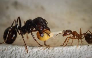 Японикус муравей чем кормить