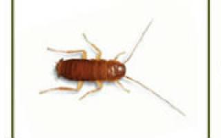 Как быстро растут тараканы рыжие