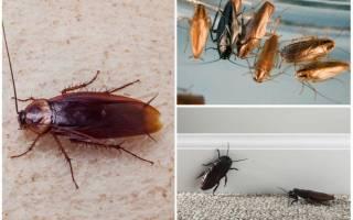 Вред людям от тараканов