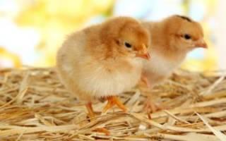 Куриные клопы как избавиться