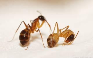Как вывести из квартиры маленьких муравьев