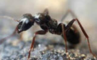 Как сделать муравьиный спирт в домашних условиях из муравьев