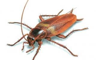Как справиться с тараканами