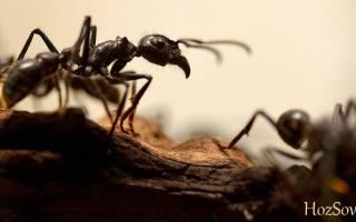 Как избавиться от черных муравьев в квартире раз и навсегда