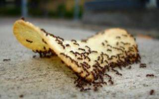 Как вывести муравьев из дома в домашних условиях нашатырным спиртом
