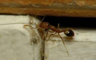 Желтые муравьи в квартире как избавиться