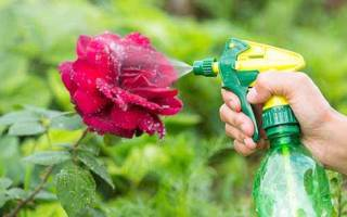 Как избавиться от муравьев на розах