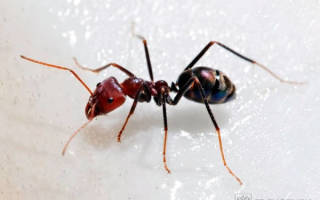 Как выглядят муравьи
