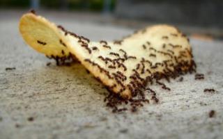 Как избавиться от фараоновых муравьев в квартире