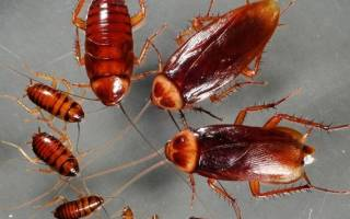 Герань от тараканов