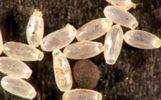 Как выглядят личинки и яйца клопов