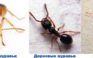 Как избавиться от муравьев содой