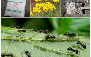 Как бороться с муравьями на огороде в огурцах