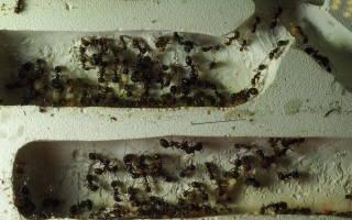 Как рождаются муравьи