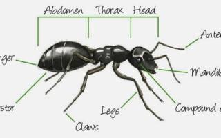Как разводить уксус от муравьев