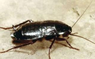Как бороться с тараканами в квартире черными