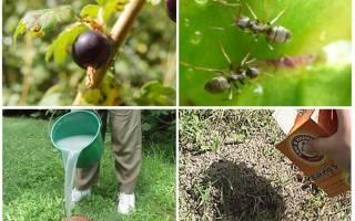 Тля на смородине и муравьи как бороться