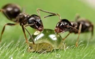 Как бороться с бытовыми муравьями