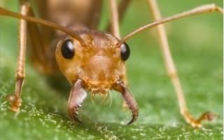 От укуса муравья зуд покраснения и отек что делать