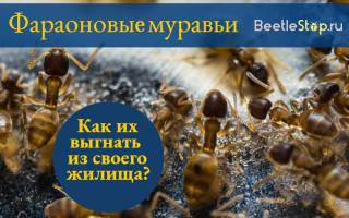 Фараоновы муравьи как избавиться