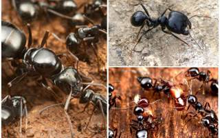 Как ухаживать за муравьями жнецами в домашних условиях