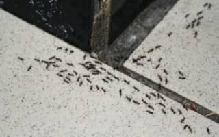 Как избавиться от больших черных муравьев в доме