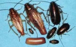 Полынь от тараканов