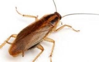 Как плодятся тараканы