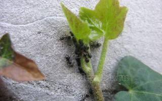 Как уничтожить муравей