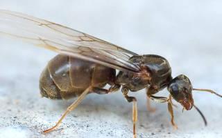Летучие муравьи в доме как избавиться